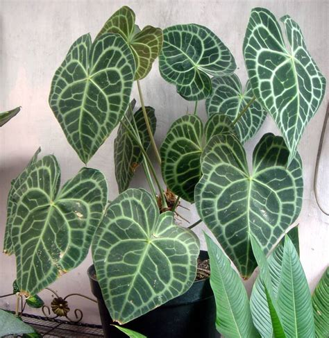 Bibit Tanaman Hias Kuping Gajah cara merawat tanaman dan aneka tanaman hias tips merawat