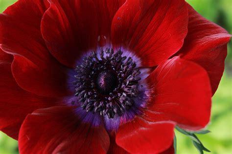 anemone bordeaux bordeaux anemone love affair