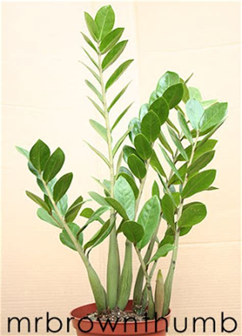 low light tropical plants zz plant easy low light houseplant mrbrownthumb