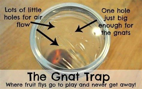 how to get rid of gnats home remedies for you