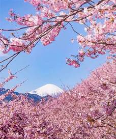 cherry blossom photos cherry blossoms have just bloomed in this japanese town
