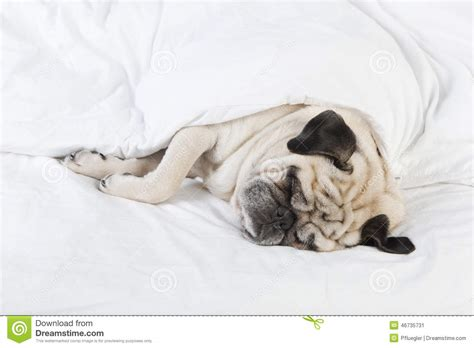 pug in bed pug lying in bed stock photo image 46735731