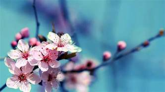 Desk Zen Garden by Flowers Cherry Blossom Wallpapers Pixelstalk Net
