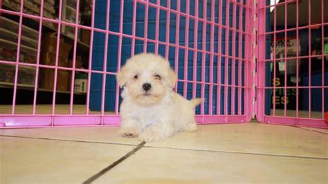 maltipoo puppies for sale in ga adorable malti poo puppies for sale in at puppies for sale local breeders