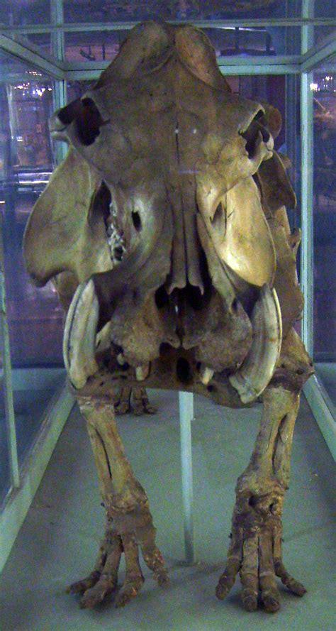 malagasy hippopotamus wikipedia