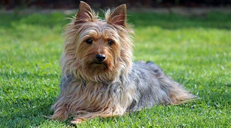 skye terrier summer groom ranking 16 razas de perro m 225 s peque 241 as y adorables del mundo