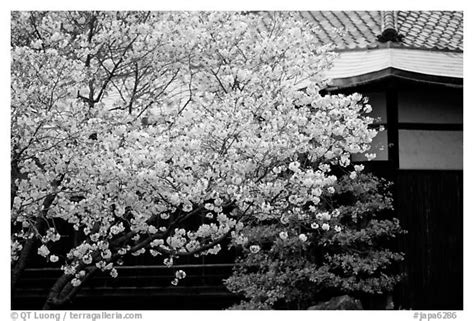 black and white japanese wallpaper black and white picture photo sakura cherry blossoms and