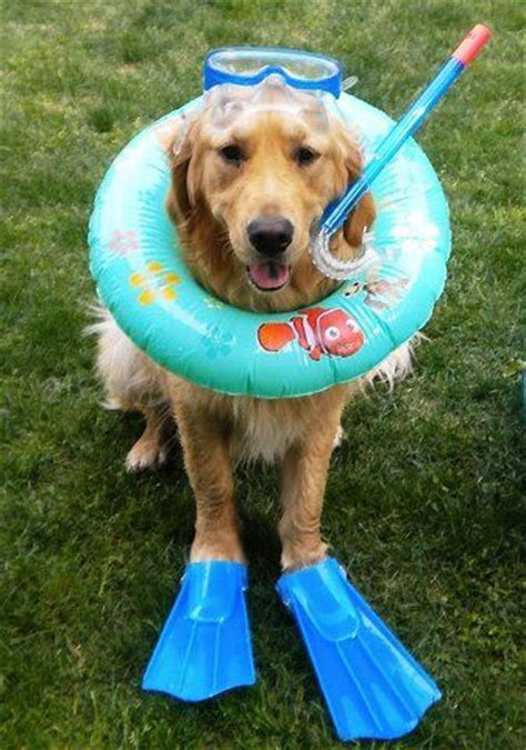 golden retrievers in pool 17 best images about pool humor on swim pools and pools