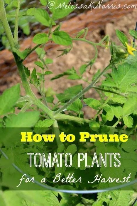 tomatoes have you heard of these tips and advice on 28147 best your garden tips images on pinterest