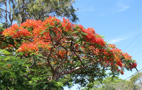 poinsiana tree decorations brisbane s naturally blooming trees brisbane
