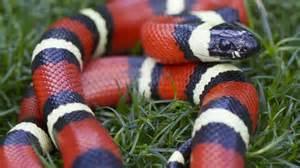 king snake colors california king snake vs corn snake pet snakes