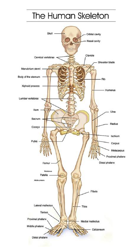 Printable Bones Of The