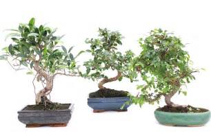 bonsai beleuchtung indoor bonsai tree care guidelines bonsai empire