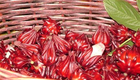 tanaman obat manfaat  khasiatnya  kesehatan keluarga