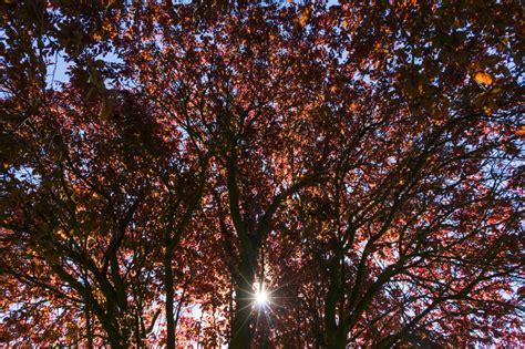 Baum Mit Roten Bl Ttern 136 by Pflaumenbaum Mit Roten Bl 228 Ttern 187 Das Wichtigste Zur