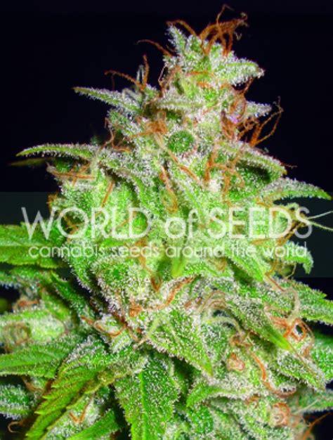 x strain seeds mazar x white rhino feminised cannabis seeds discount