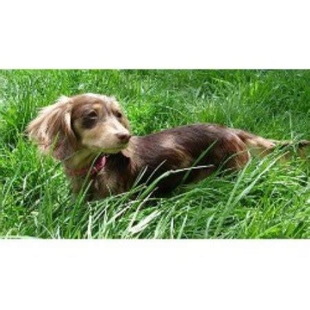 dachshund puppies oregon aston acres miniature dachshunds dachshund breeder in salem oregon