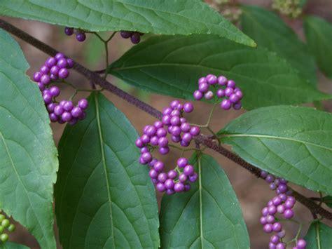 purple berries ramblin through dave s garden