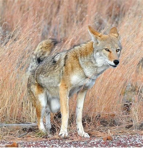Hunting Giveaway - california bans coyote hunting contests outdoorhub