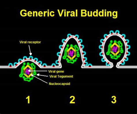file budding of generic virus pictorial represent jpg