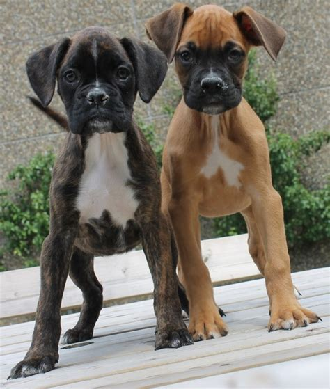 buy boxer puppy 170 best boxer puppies images on