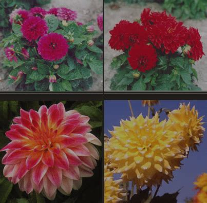 Tanaman Dahlia klasifikasi tanaman dahlia klasifikasi tanaman dan hewan