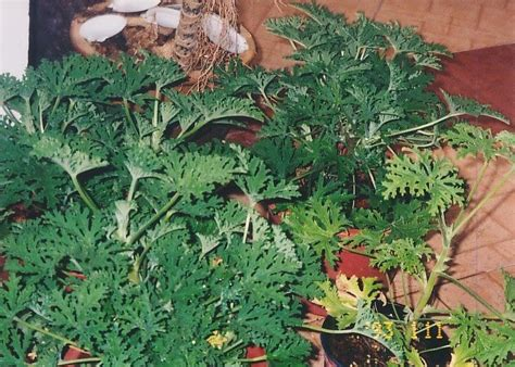 my thoughts stories and articles citronella plant