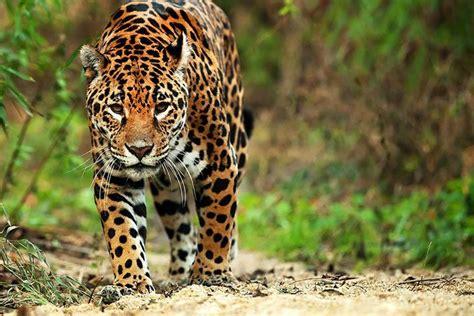 imagenes del jaguar animal jaguar leopard oder panther wo ist der unterschied