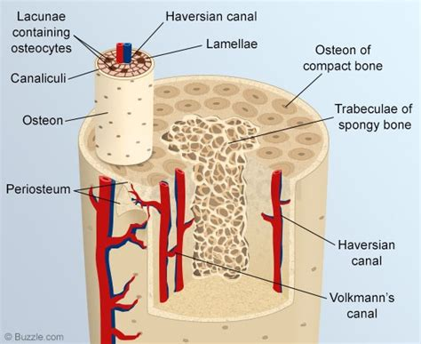 bone cross section diagram a list of all the flat bones in the human body with diagrams