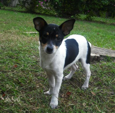 rat terrier decker rat terrier florida
