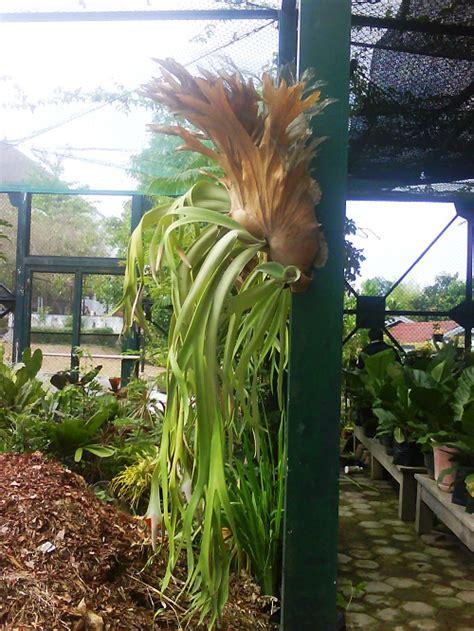 tanaman hias tanduk rusa  khasiatnya