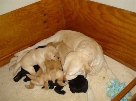 lab puppies seattle labrador retriever puppies seattle photo
