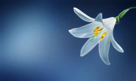 imagenes de lilis blancas lilis las hermosas flores grandes y decorativas