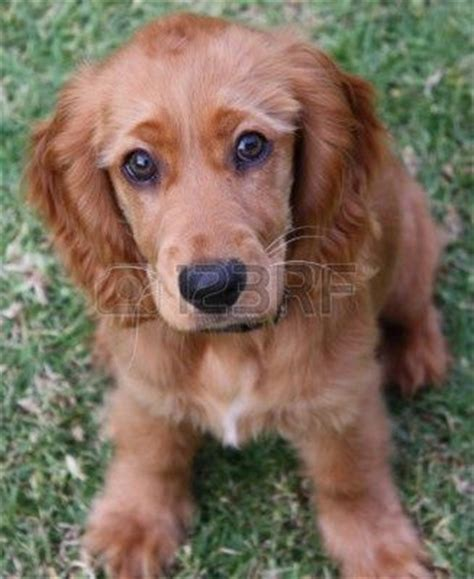 golden retriever cocker spaniel mix craigslist die besten 25 golden retriever cocker ideen auf