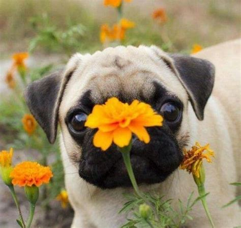 buy a pug near me flower and me pugs fan club