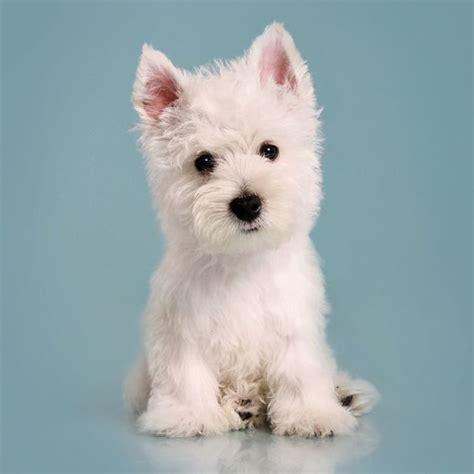 westie puppies near me image gallery westie adoption