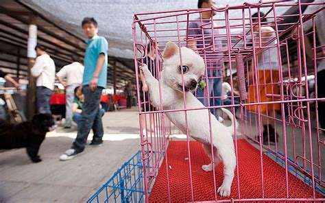 china dog meat festival targeted  activists telegraph