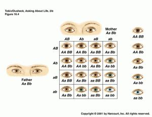 eye color punnett square what color are your exactly