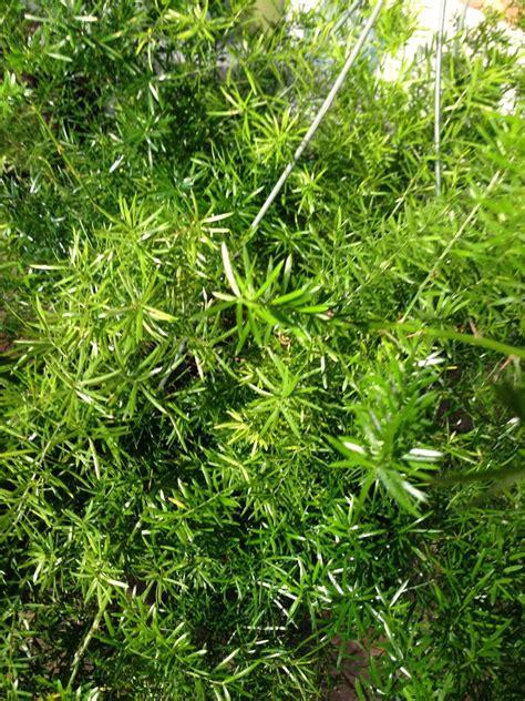 boston fern low light low light ferns 28 images gardening 101 asparagus