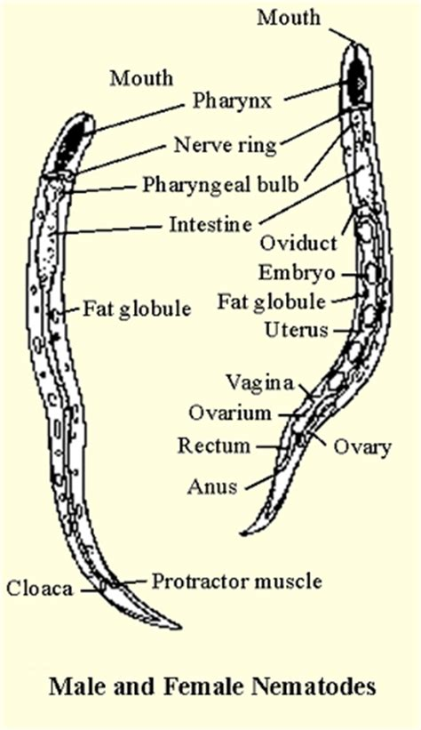 diagram of nematode the gallery for gt ascaris anatomy diagram
