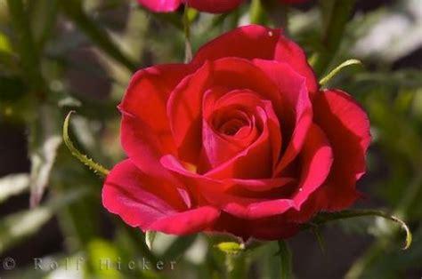 Merah Ros abcdefghijklmnopqrstuvwxyz bunga ros merah si dia