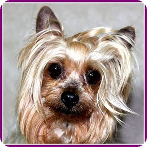 yorkies for adoption in arkansas seymour mo yorkie terrier meet sissy in rock ar a for
