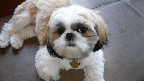 is a shih tzu hypoallergenic scratch or not are shih tzu s hypoallergenic hypoallergenic paws