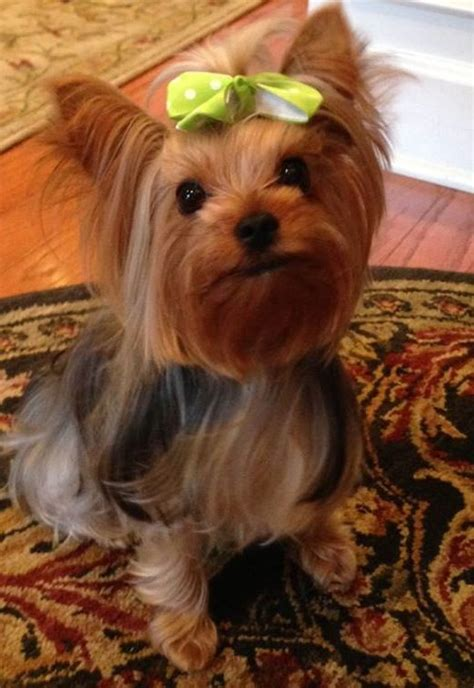 corgi yorkie 410 best images about havanese corgi terrier