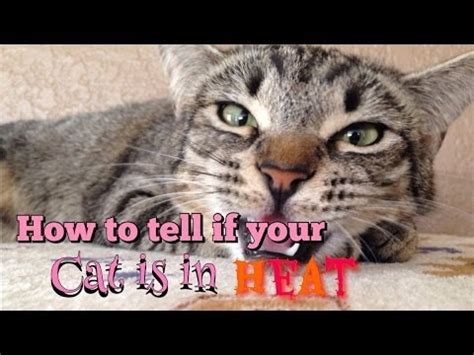 is my in heat how to tell if your cat is in heat