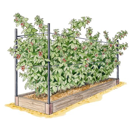 growing raspberries raspberry raised bed system