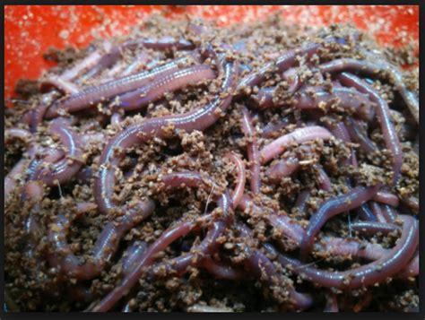 Jual Pakan Burung Jakarta cara memelihara cacing tanah untuk umpan mancing aliems