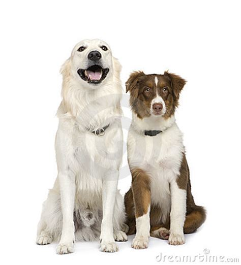 australian shepherd x golden retriever puppy australian shepherd and a golden retriever stock photo image 6851870