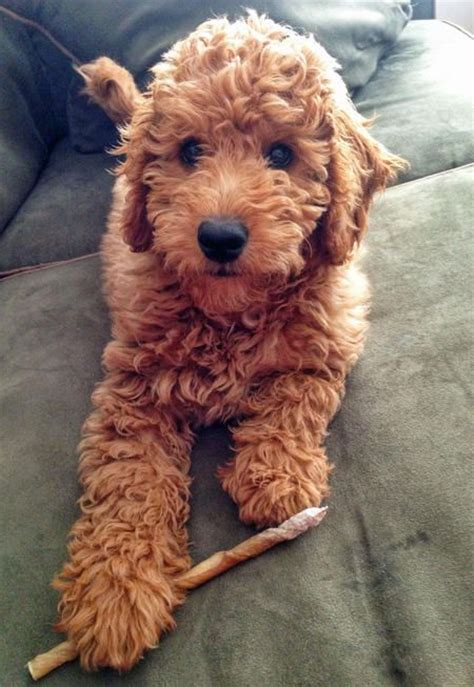 goldendoodle lifespan chiots mon ami and goldendoodles on
