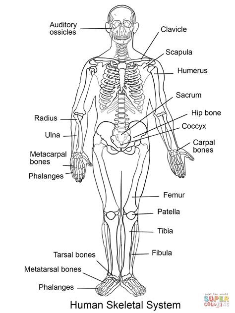 cadenas ganglionares ingles human body systems coloring pages many interesting cliparts